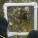 Quadrat underwater with oysters.
