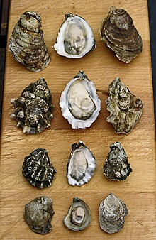 Four species of oysters