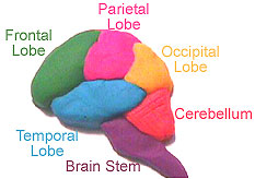 Make 3D Brain Model http://faculty.washington.edu/chudler/chmodel.html
