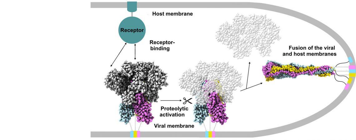 Coronavirus spike postfusion structure