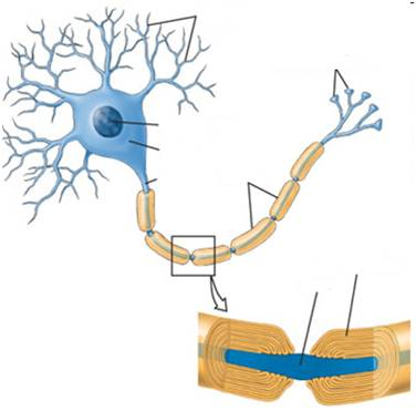 Neuron Structure And Function http://faculty.washington.edu/jdb/101/101examreview1.html