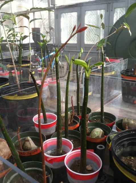 ttp://faculty.washington.edu/jsachs/lab/www/Research/Mangrove_Cultures_UW/Mangrove_grnhse_11Oct2012_close.jpg
