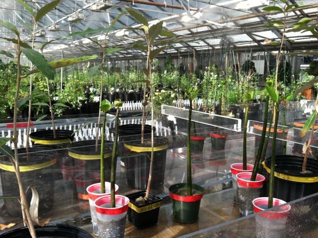 ttp://faculty.washington.edu/jsachs/lab/www/Research/Mangrove_Cultures_UW/Mangrove_grnhse_11Oct2012_wide.jpg
