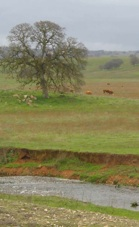 Cows grazing near a stream