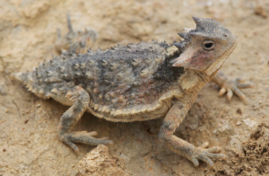 New horned lizard