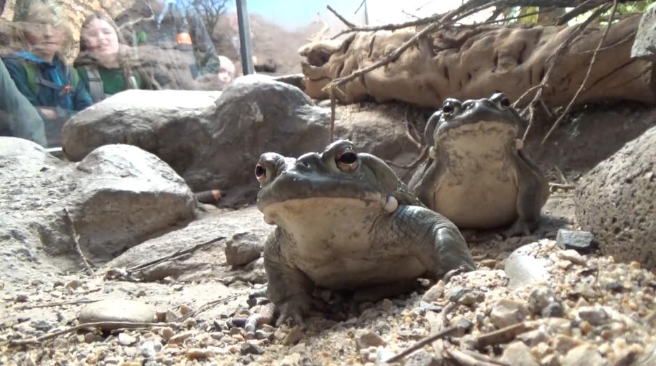 Colorado River Toads. Video by Heidi Rockney.