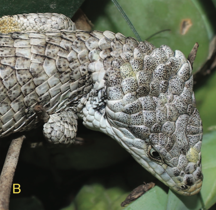 A new species of arboreal alligator lizard from Mexico