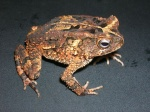 Bufo 