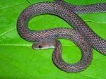 Gonionotophis