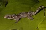 Hemidactylus kyaboboensis
