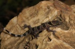 Hemidactylus fasciatus
