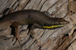 Trachylepis quinquetaeniata