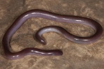 Leptotyphlops