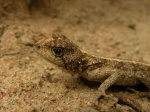 Agama gracilimembris