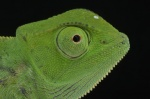 Chameleo senegalensis