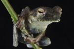 Chiromantis rufescens