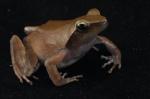 Phrynobatrachus plicatus