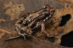 Phrynobatrachus