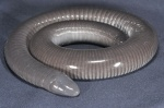 Dermophis mexicana