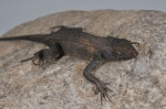 Sceloporus siniferus
