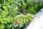 Sceloporus smithi