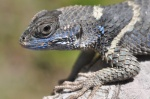 Sceloporus mucronatus