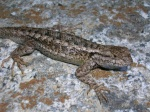 Sceloporus