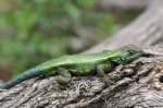 Sceloporus adleri male