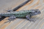 Sceloporus grammicus
