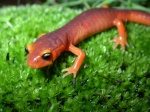 Ensatina e. xanthoptica