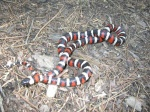 Lampropeltis zonata