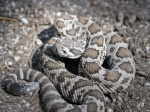 Crotalus viridis
