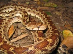 Gopher Snake