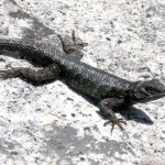 Sceloporus o. taylori
