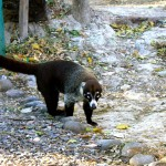 Coati at PaloVerde