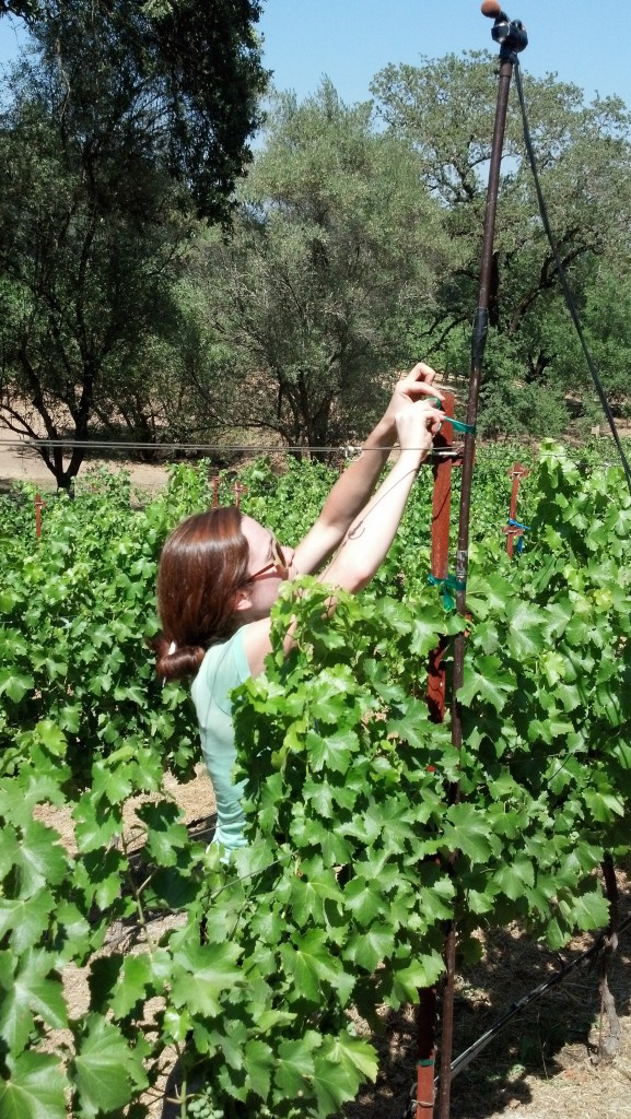 Rochelle setting up bat acoustic monitoring equipment in a Napa Vineyard