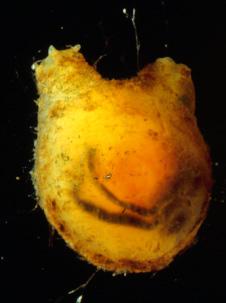 Ci >> Molgula citrina