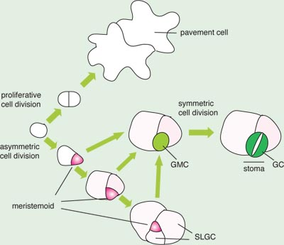 Torii Lab : Research - Stomatal development (overview)